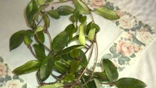 poda hoya carnosa (flor de la cera)