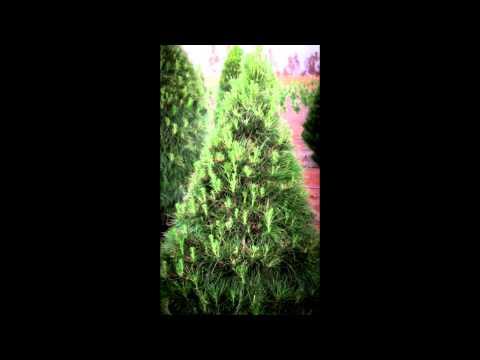 Christmas Trees   Live and Fresh Melbourne   medium