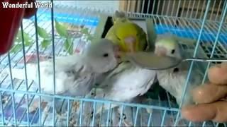 Parrot / Budgerigar babies hand feeding - Easy Hand Feeding of Baby budgerigars