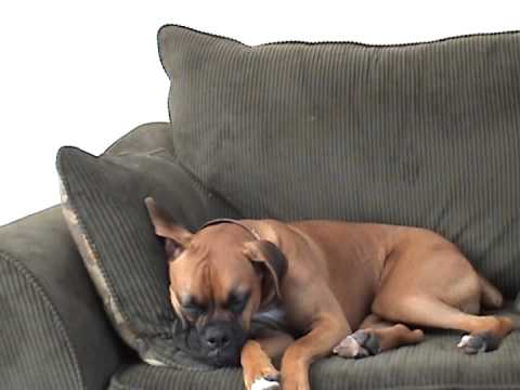 Boxer Dog has mild seizure