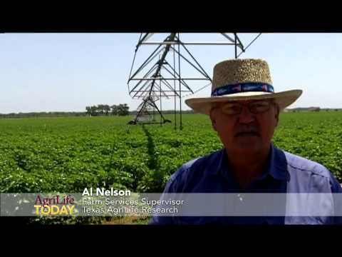 Irrigated Corn and Cotton at Texas AgriLife Research Farm