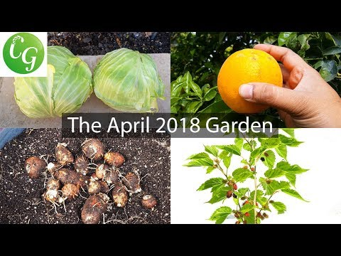 Secured Raised Beds, Harvests, Gardening Tips & More! Welcome to the April Garden!