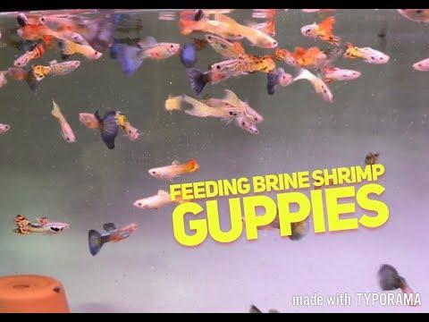 Feeding live baby brine shrimp to my Guppies