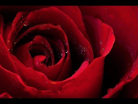 a rose -  a rose is a rose is a rose