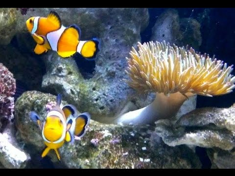 Clownfish laying eggs. {My Nemo clownfish are having babies}