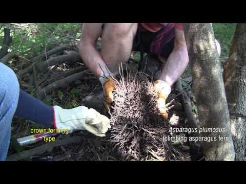 ASPARAGUS WEED CONTROL 5. Asparagus plumosus (climbing asparagus fern