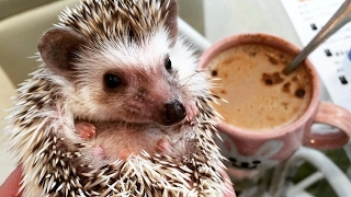 Hedgehog Cafe in Tokyo Offers Cuddles and Coffee | What