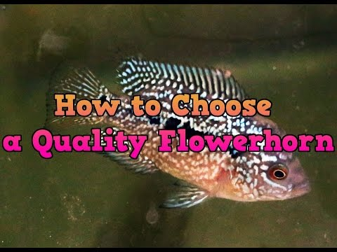 How to Choose a Quality Flowerhorn
