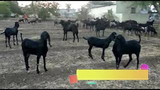 Punjabi Beetal Goat For Sale - The Most Popular High Quality