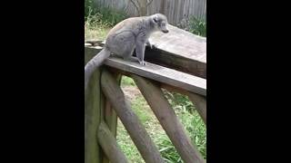 R.I.P Lemur- was he drunk?