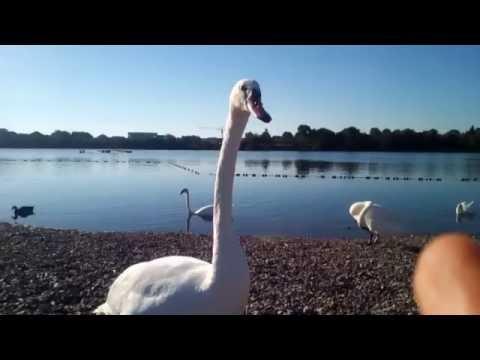 swan searching for smoki