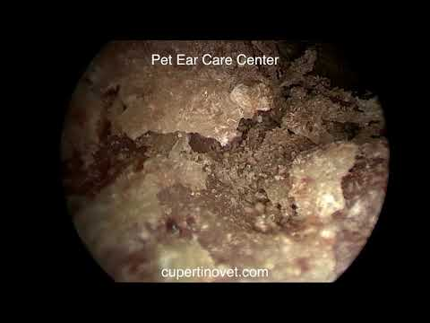 Ear Mites In Rabbit