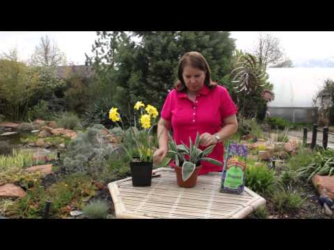 How to Care for a Tulip Plant in a Pot : Grow Guru