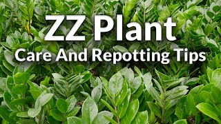 The Awesome ZZ Plant: Care & Repotting Tips / Joy Us Garden