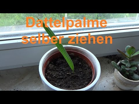 Dattelpalme züchten Dattel selber ziehen Datteln Palmen vermehren