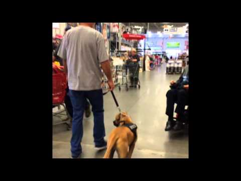Brutus, Service dog in training at Lowe's