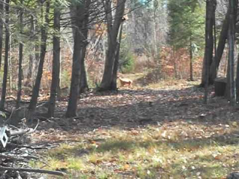 Deer scent drag / doe decoy set