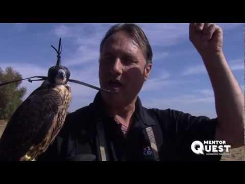 Peregrine Falcon Training Session with California Hawking Club Board of Director