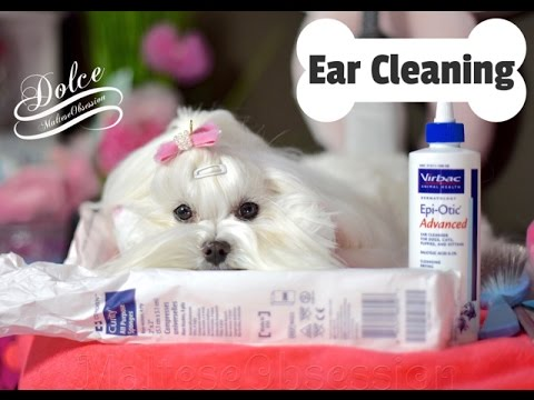 GROOMING:  Dolce Ear Cleaning - How we clean Maltese Ears -Maltese Ear Cleaning 말티즈