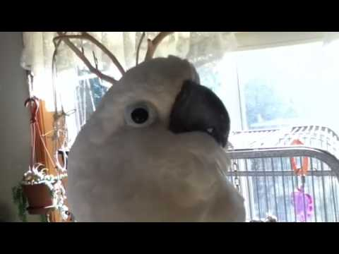 Cockatoo chatter