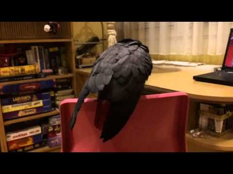 Congo African Grey Parrot after bath slow motion