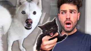 Husky Attacks Baby Kitten (he's ok)