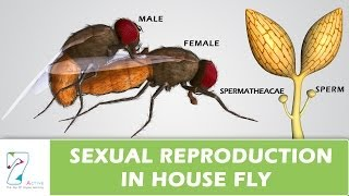 Sexual Reproduction In House Fly