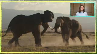 RAGING Bull Elephants! WHY Bulls Fight for Superiority?