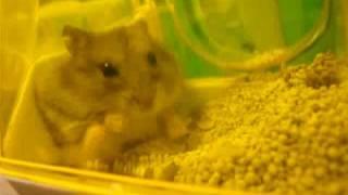 ハムスター 初めてのお見合い hamster first date