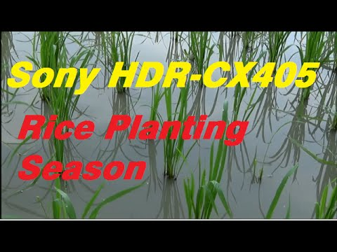 Sony HDR CX405 60x Clear Image Zoom Test - Rice Planting Season
