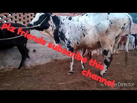 Xxx Mp4 Ox Sex Checking Varjeen Cow Sex Meeting Vedio By Vehli Mandeer Entertainment 3gp Sex