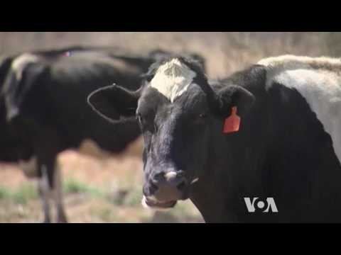 Reducing Methane Emission from Cows