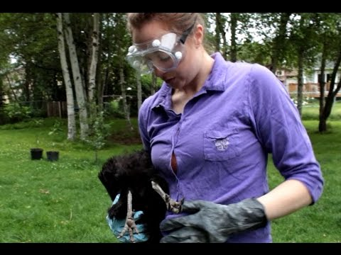 Treating Lice Infected Backyard Chickens with Permethrin Powder