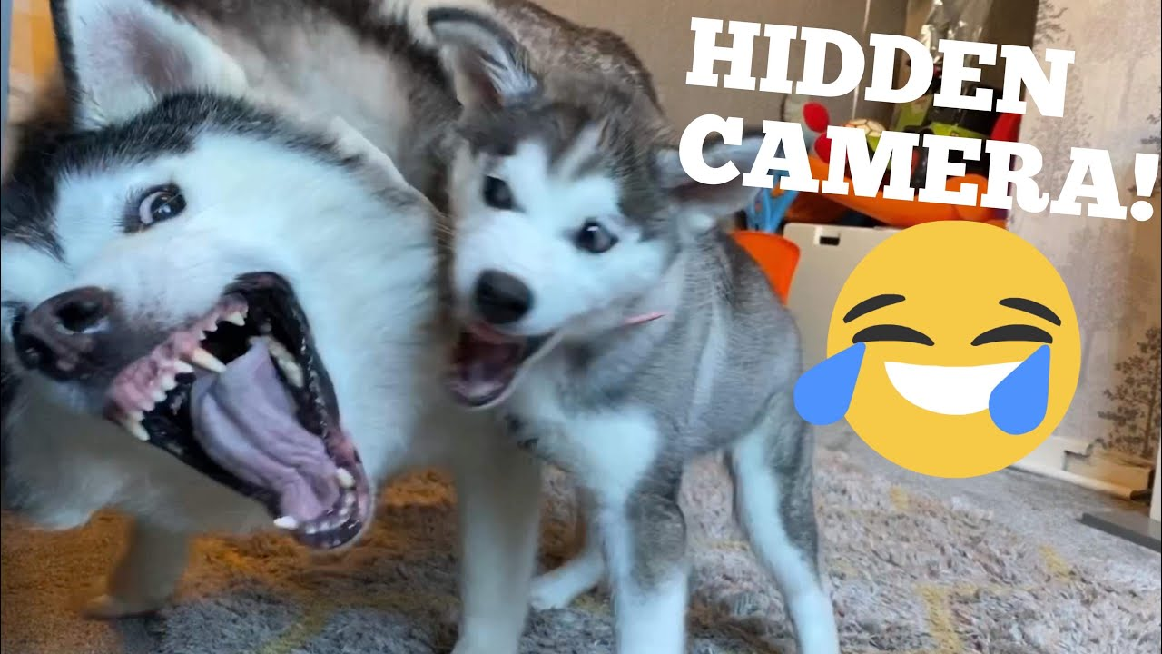 I Left My Puppy & Huskies Unattended For The First Time Ever & This Happened! [DIDNT EXPECT THIS!]