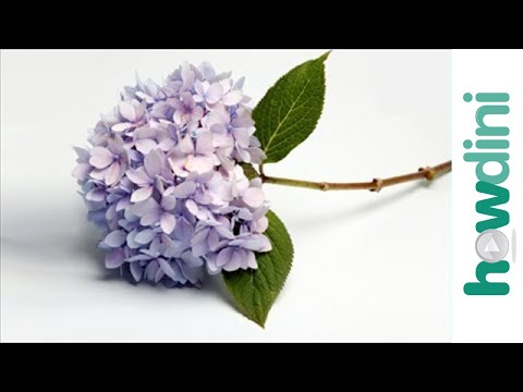 How to make lilacs and hydrangeas last longer