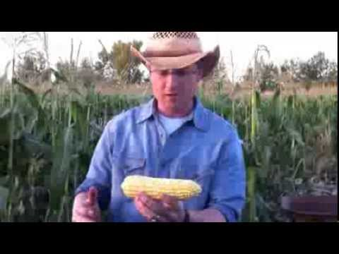 How To Shuck Corn Quickly And Easily