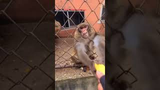 Man taunts monkey with banana🐒only got half