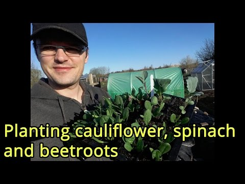 Planting cauliflower, spinach and beetroots