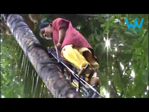 How women climb coconut trees in India | Tree climbing techniques