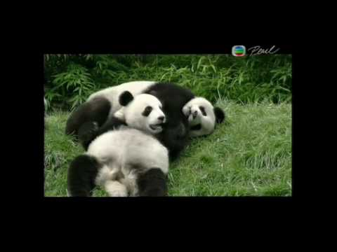Wild Giant Panda Habitat and Habits