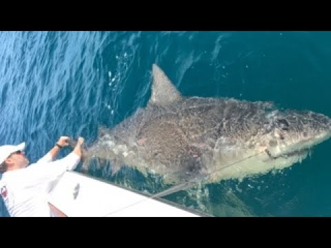 How To Catch Bull Sharks Fishing Off Florida East Coast Livestream with Chew On This