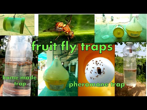 घर मे बनाए फ्रूट फ्लाई ट्रैप||How to control fruit fly with HOME MADE fruit fly trap/ pheromone trap