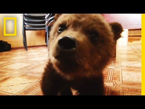 Watch: Adorable Baby Brown Bear Rescued | National Geographic