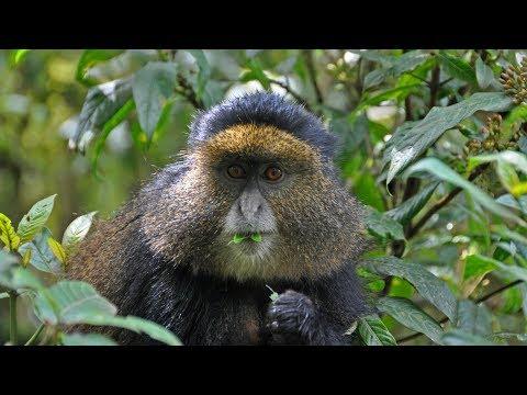 Rwanda - Golden Monkey in Volcanoes Park