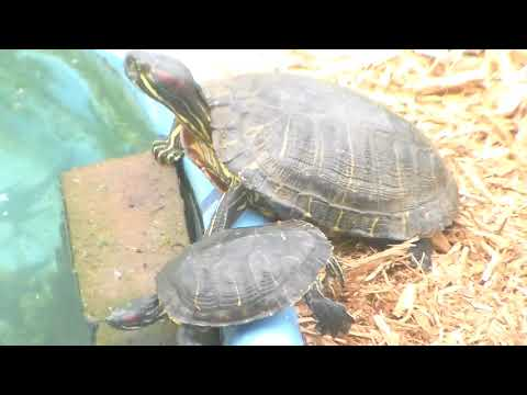My Huge Red Eared Slider, Maria. Government Experiment?Threw/vile in Ocean. She Formed& Thrived.