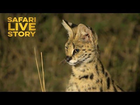 Serval Cats of the Maasai Mara
