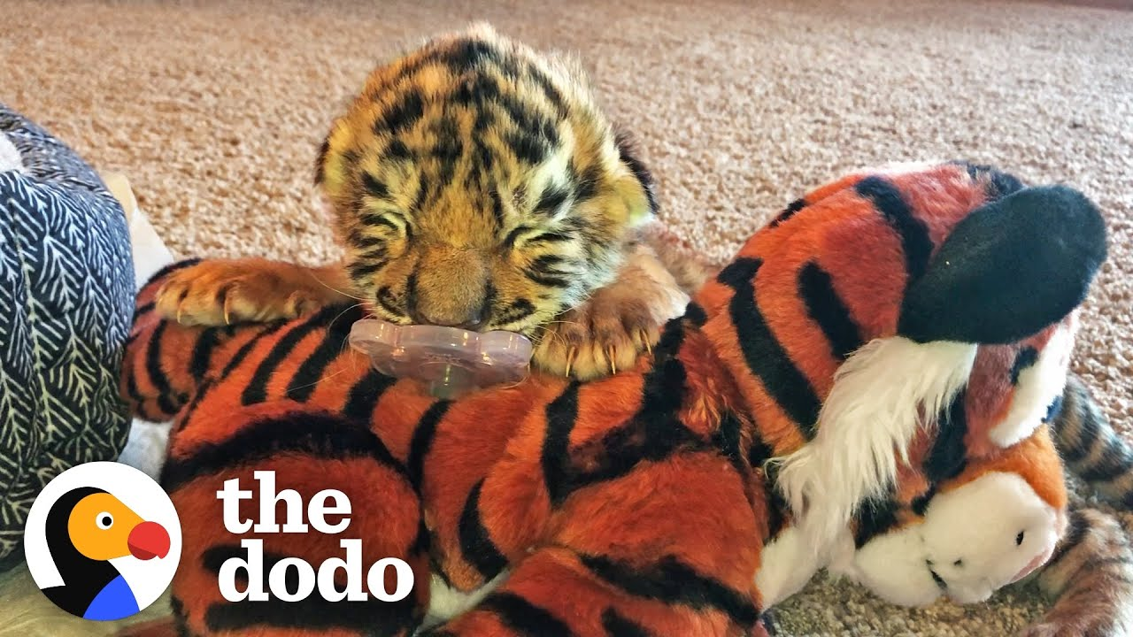 Tiniest Tiger Cub Is A Wild Man Now | The Dodo Little But Fierce