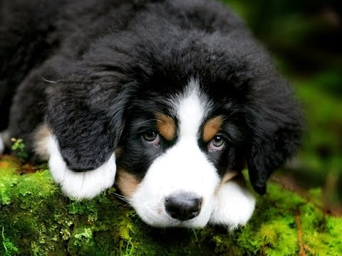 Bernese mountain dog puppy playing
