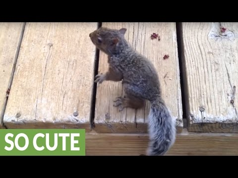 Feeding a lost and hungry baby squirrel