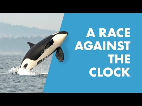 Killer Whale Research and Conservation Program   SeaWorld